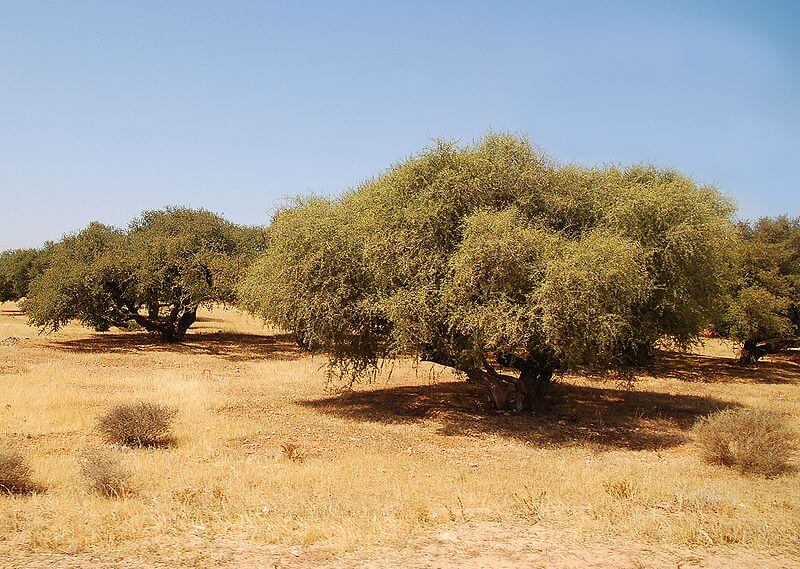argan-oil-tree