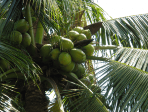 green-coconuts-in-tree